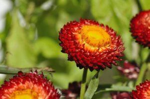 Strohblumen Trocknen übers jahr gesammelt strohblumen und oppacher